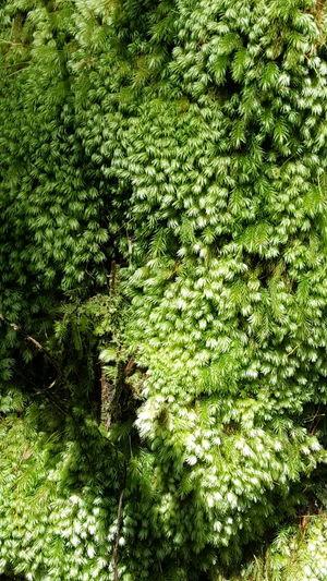 Hawaiian Fern Ohia Trees Hawaii Big Island Island Travel Paradise Volcano Hawaii Life Ocean Backgrounds Full Frame Close-up Green Color Green Countryside Woods Plant Life Greenery Fern
