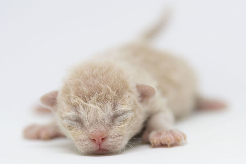 1 week old LaPerm kitten Blind Kittens La Perm Cat LaPerm Tiny Animal Themes Cat Close-up Cute Domestic Kitten Kittens Of Eyeem Mammal One Animal Pets Small White Background