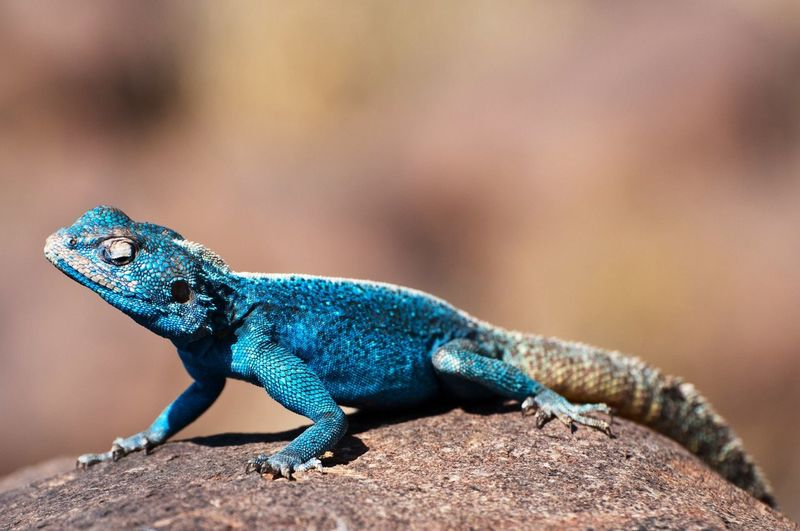 Close-up of chameleon on rock