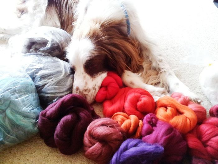 Spaniel sleeping on coloured wool balls Dog Portrait Dog Sleeping  Springer Spaniel Springer Springer Multicolored Wools colours Vibrant Colors Red Burgendy English Springer Spaniel Rufus The Spaniel Pets Dog Purple Colorful Colourful Color Portrait Colours And Patterns Pink Color Red Color Pet Portraits