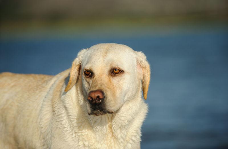 Labrador retriever looking away against lake