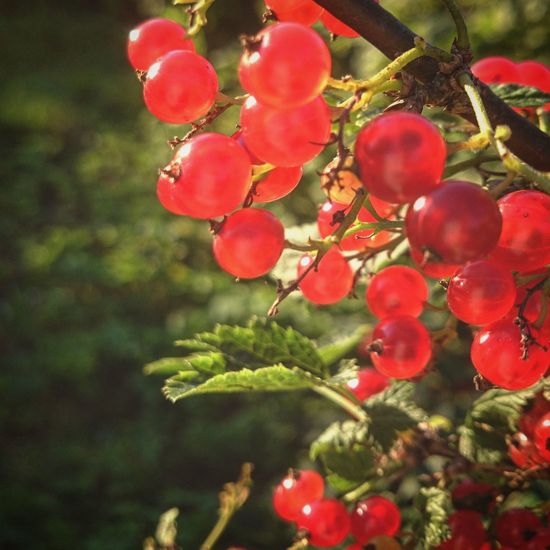 Redcurrant Currant Nature Nature_collection Nature Photography Natural Beauty Natural Red