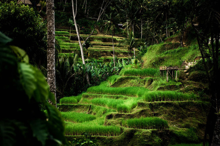 Bali, Indonesia Green Color Growth Tree Tranquility Tranquil Scene Land Beauty In Nature Scenics - Nature Forest Nature No People Lush Foliage Foliage Landscape Environment Day Outdoors Grass Rice Field
