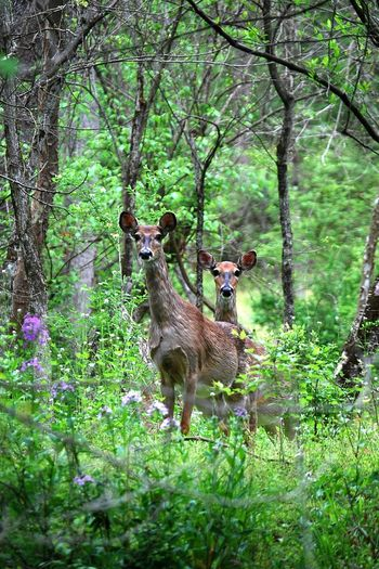 Deer in Forest Animal Themes Deer Doe Forest Gring's Mill Nature No People Springtime