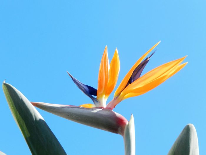 Blue Bird Of Paradise - Plant Flower No People Nature Freshness Close-up Day Beauty In Nature Outdoors Sky Flowers Flowerporn Flower Photography Flowerlovers Flowerstagram EyeEmNewHere