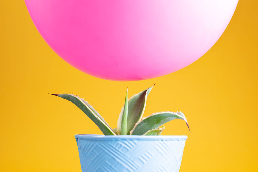 Cactus Flower Pot Green Color Juxtapose  Pink Precarious Balanced Balloon Blue Colored Background Counterpoint Hovering Opposites Pointy Sharp Yellow
