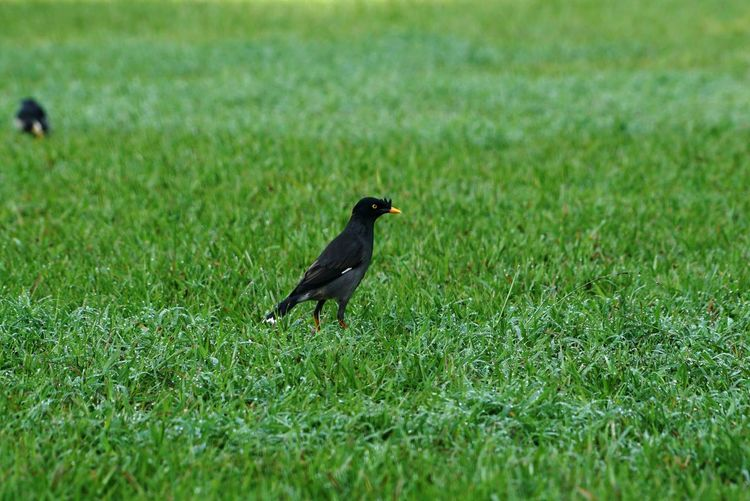 Animal Themes Grass Bird Vertebrate Animal Plant Green Color Animals In The Wild One Animal Animal Wildlife Land No People Selective Focus Field Day Nature Growth Side View Outdoors Perching Blackbird A Crested Myna Bird A Crested Myna Bird On The Green Grass