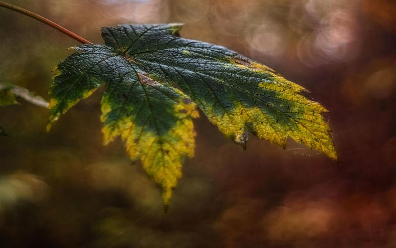Acer Platanoides Bokeh Herbstblatt Herbstfärbung Makro Mehrfarbig Nature Spitzahorn Warme Farben