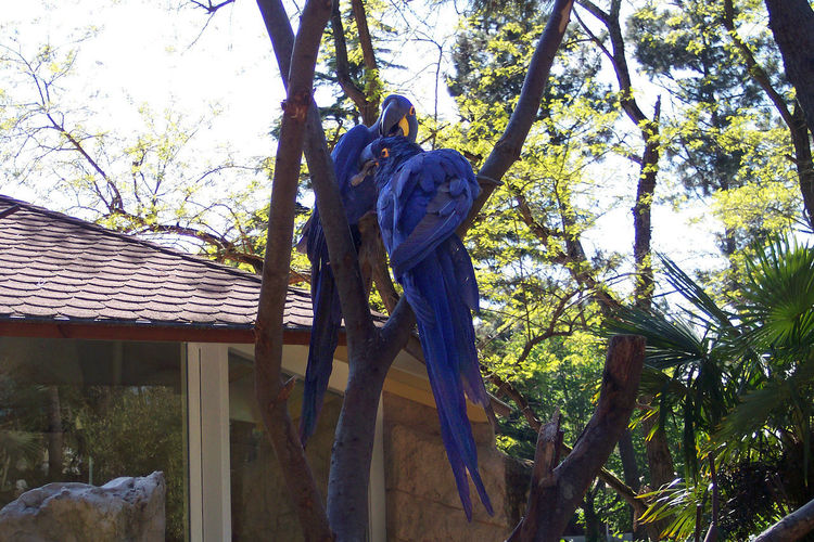 Two Aras Anodorhynchus Hyacinthinus Macaw Bird Photography Bird Relationships Cobalt Blue Blue And Yellow Color Couple Shoot Parrots Rare