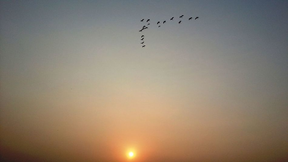 Animal Themes Beauty In Nature Bird Clear Sky Day Flying Large Group Of Animals Low Angle View Migrating Nature No People Outdoors Silhouette Sky Sunset Minimalism Minimal Minimal Nature Flying Birds Above Sun Birds And Sunset Birds And Sun Yellow Orange Sky Yellow Sky Long Goodbye EyeEm Selects