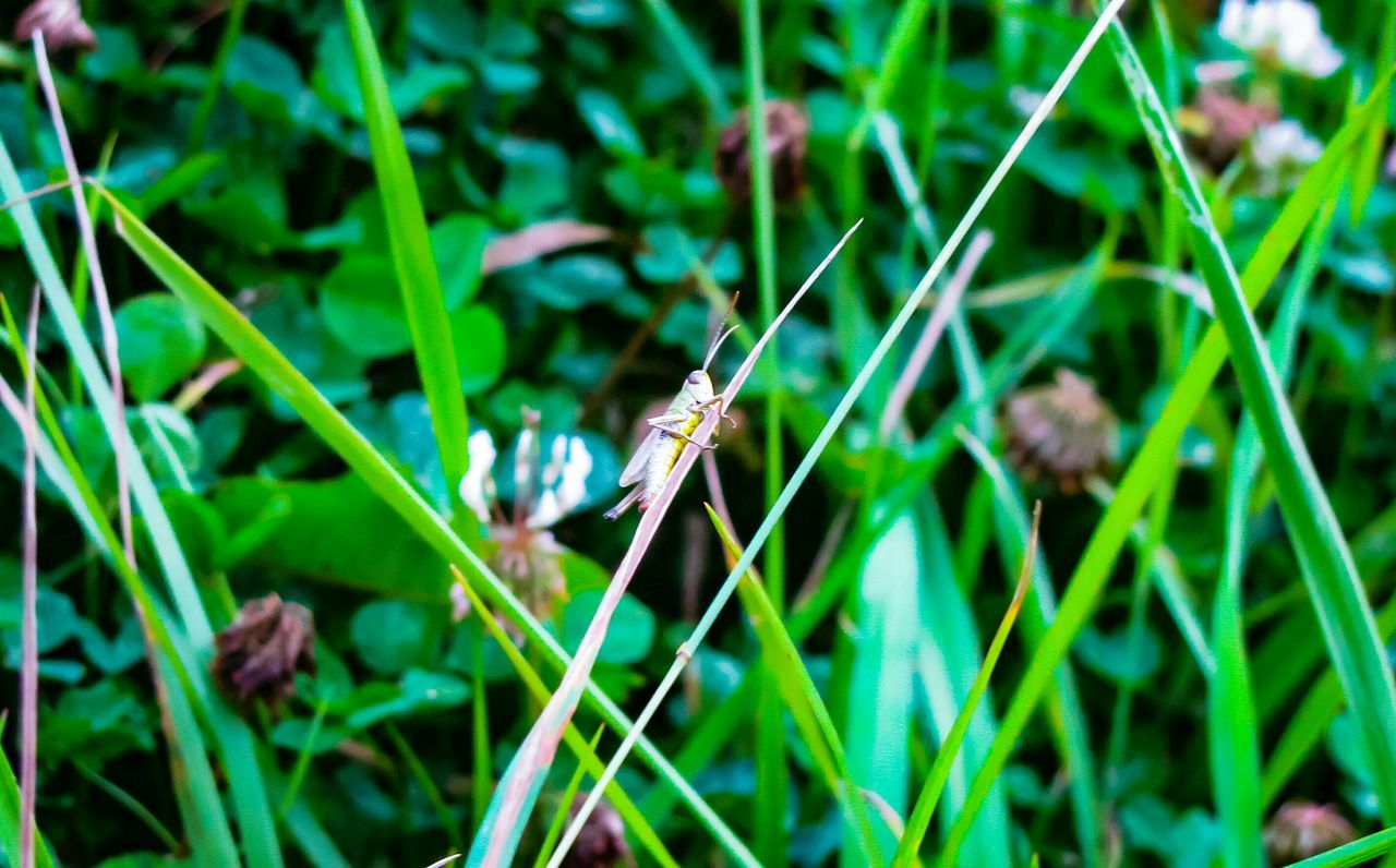 one animal, animal themes, insect, animals in the wild, grass, green color, nature, animal wildlife, growth, plant, day, outdoors, no people, close-up, full length, damselfly, beauty in nature