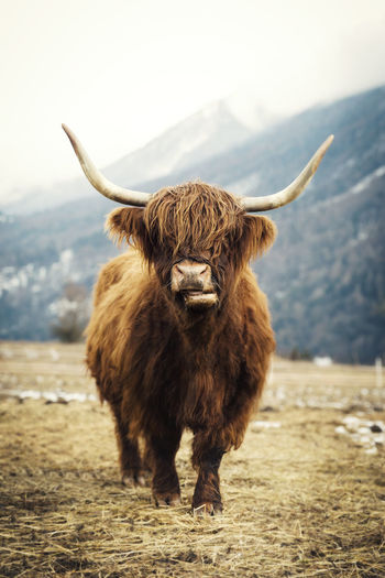 Portrait Of Highland Cattle Standing On Field