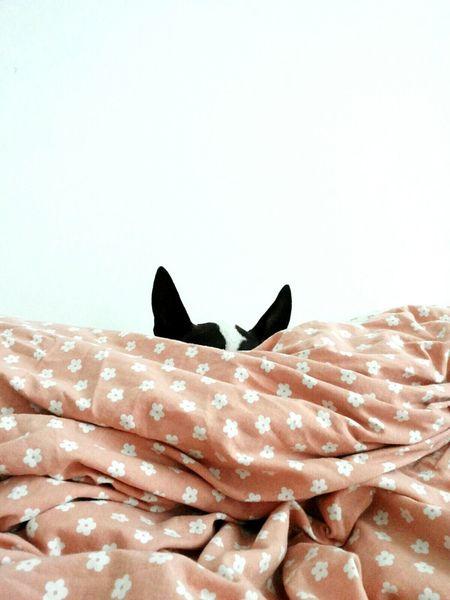 Bullterrier Bestfriend Speck Blending In  Camouflage