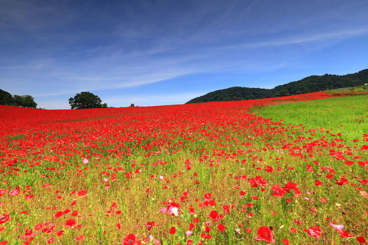 Hello World Tadaa Community 天空のポピー Tree Rural Scene Red Fruit Agriculture Multi Colored Leaf Summer Autumn Field Poppy Flower Head Tranquil Scene Blooming Calm