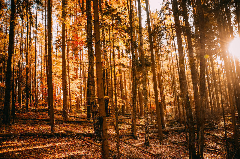 Forest Tree Land WoodLand Plant Tree Trunk Sunlight Trunk Beauty In Nature Nature Tranquility Day Growth Autumn Non-urban Scene Tranquil Scene Sunbeam Sun Change Scenics - Nature No People Outdoors Lens Flare Streaming Bright