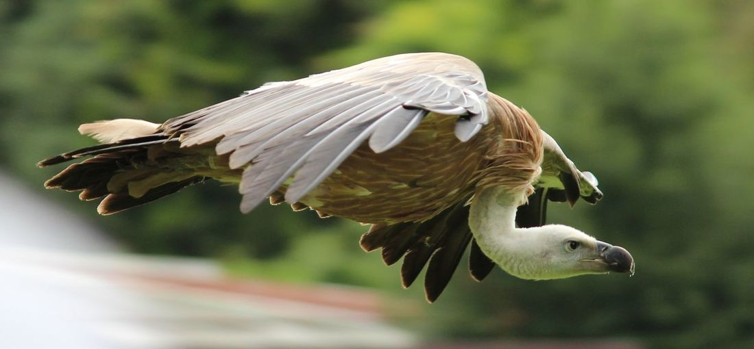 Close-Up Of Vulture Flying Outdoors