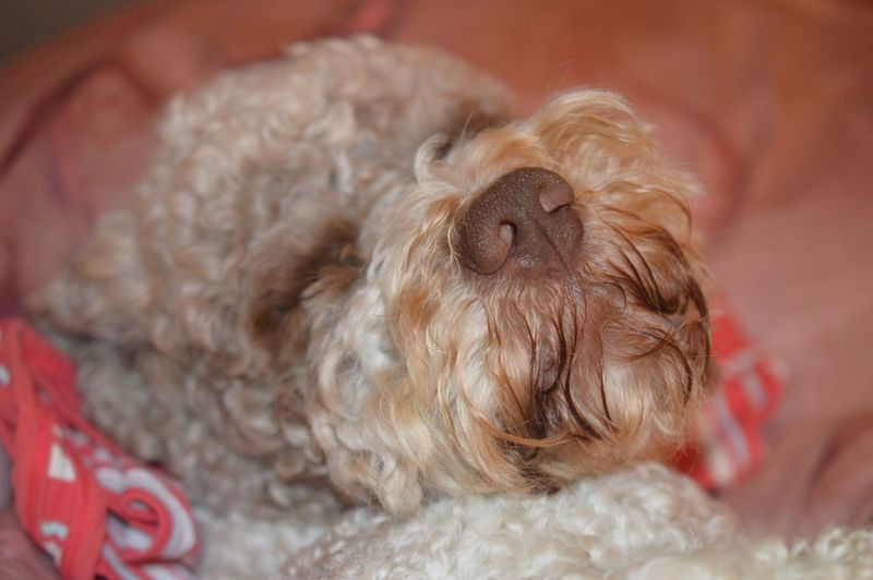 Hiking makes me so tired😂😂😂🐶have a great Week, dear friends 🙋🏻♀️💐 Dogs Of EyeEm Lagotto Romagnolo EyeEm Selects Pets Domestic Domestic Animals Dog Mammal One Animal Canine Animal Themes Animal Close-up Indoors  Relaxation No People Animal Body Part Animal Hair Animal Head  Cute