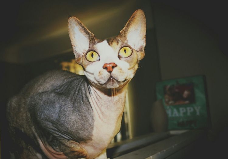 Close-Up Of Sphynx Hairless Cat At Darkroom