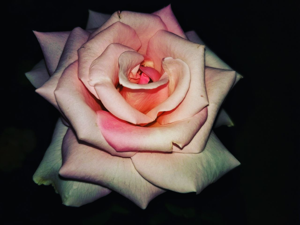 CLOSE-UP OF ROSE IN BLACK BACKGROUND