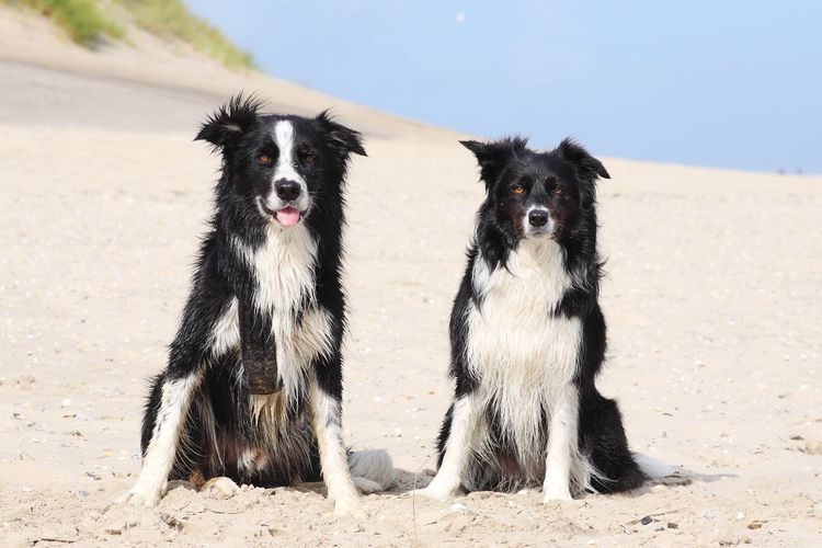 Two border collies at the beach Holiday Border Collie Friends Frienship Vacation Dogs Doglover Dog Vacation Pets Sand Dune Beach Dog Portrait Sand Protruding Sky Group Of Animals
