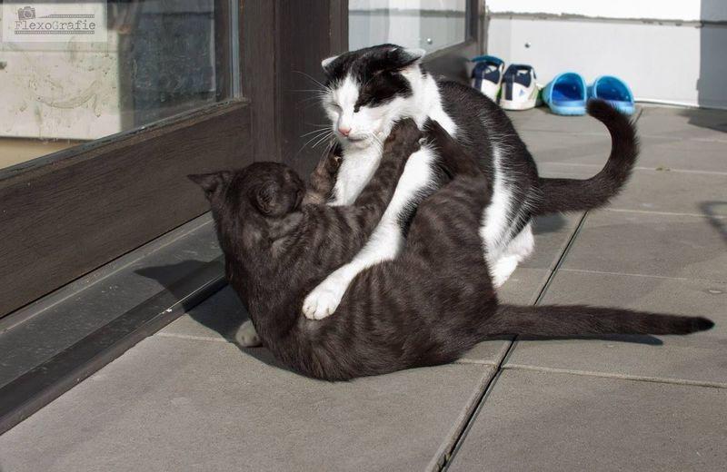 Showcase March Cats Of EyeEm Cats 🐱 Goofballs Funfight FlexoGrafie Canoneos Sigmaart Enjoying Life Taking Photos