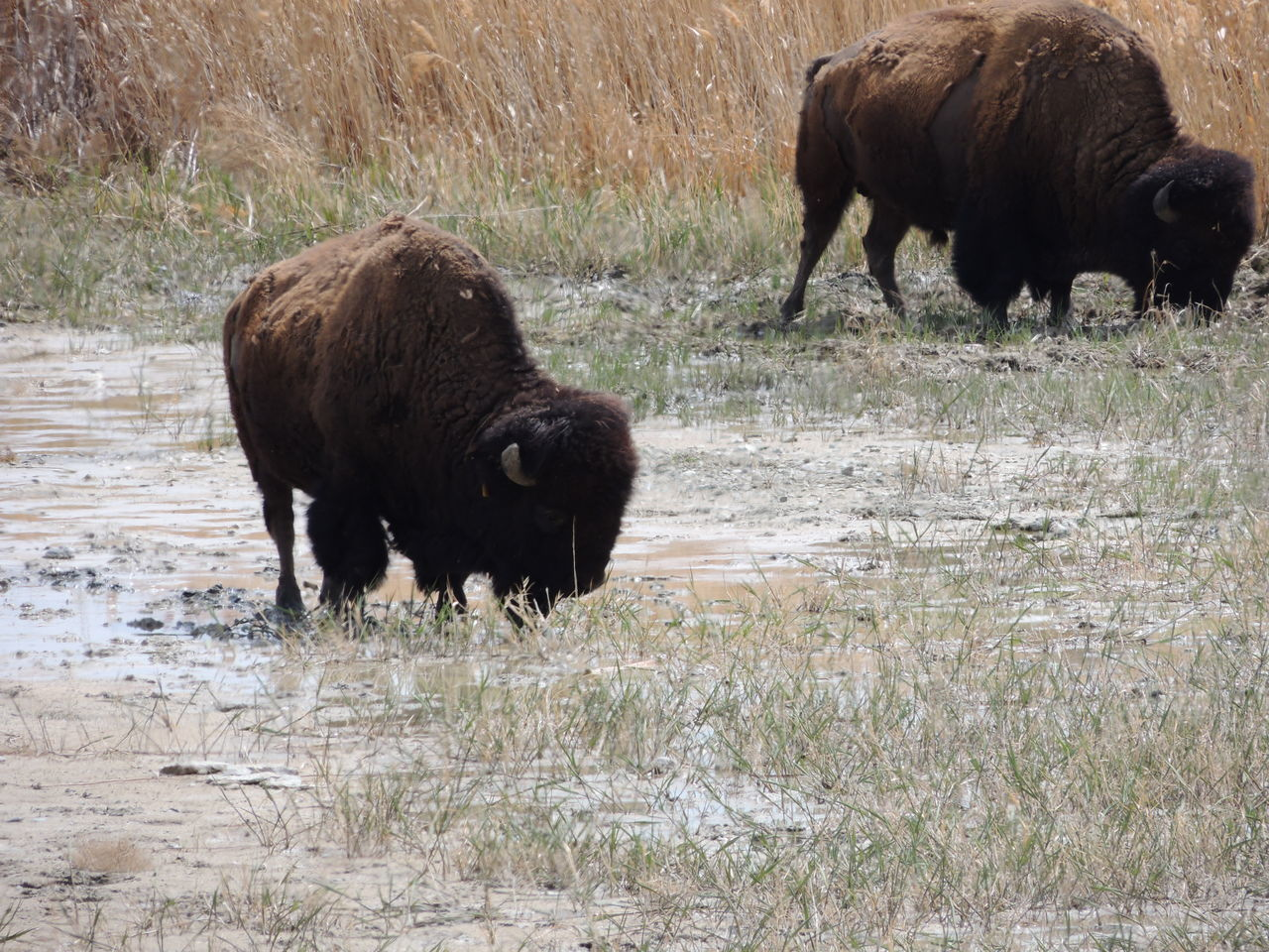 animal, animal themes, mammal, group of animals, animals in the wild, animal wildlife, vertebrate, land, grass, field, american bison, domestic animals, nature, livestock, day, no people, two animals, plant, standing, outdoors, herbivorous