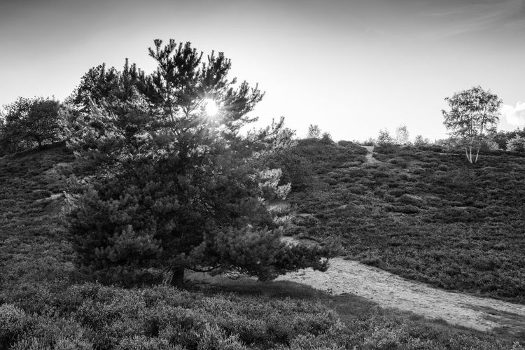 lonely big tree in black and white Grass Lonely Sunlight Tranquility Tree Blackandwhite Bnw Hill Landscape Monochrome No People Sky Sun Tree_collection  Trees And Sky