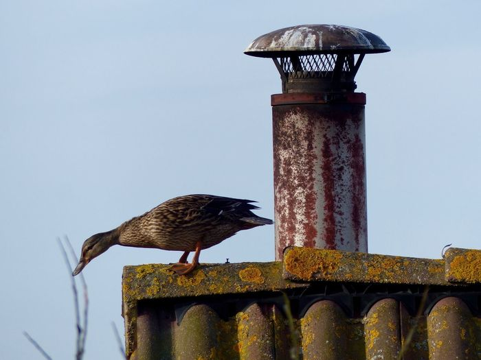 Duck On Roof Duck Animal Animal Themes Bird Sky Perching Animal Wildlife Architecture Animals In The Wild One Animal