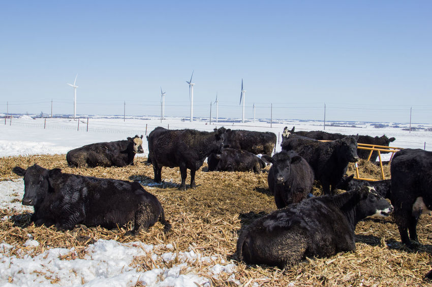 Black Angus Cattle Yard Farm Ranch Wind Energy Wind Turbine Wind Power Windmill Animal Black Canon60d Canonphotography Cattle Clear Sky Cow Day Group Of Animals Herd Livestock Sky Snow Spring