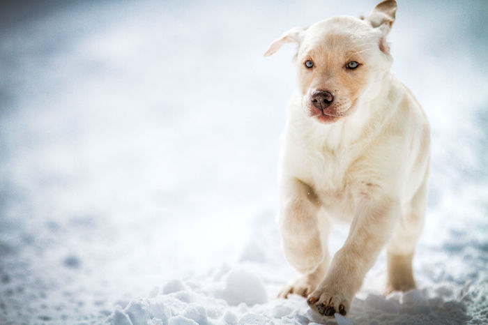 A baby Bell puppy runs through the winter snow. Baby ❤ Cold Ears Floppy Frozen Nature Puppy Puppy Love Running Snow Water Waterdrops Yellow