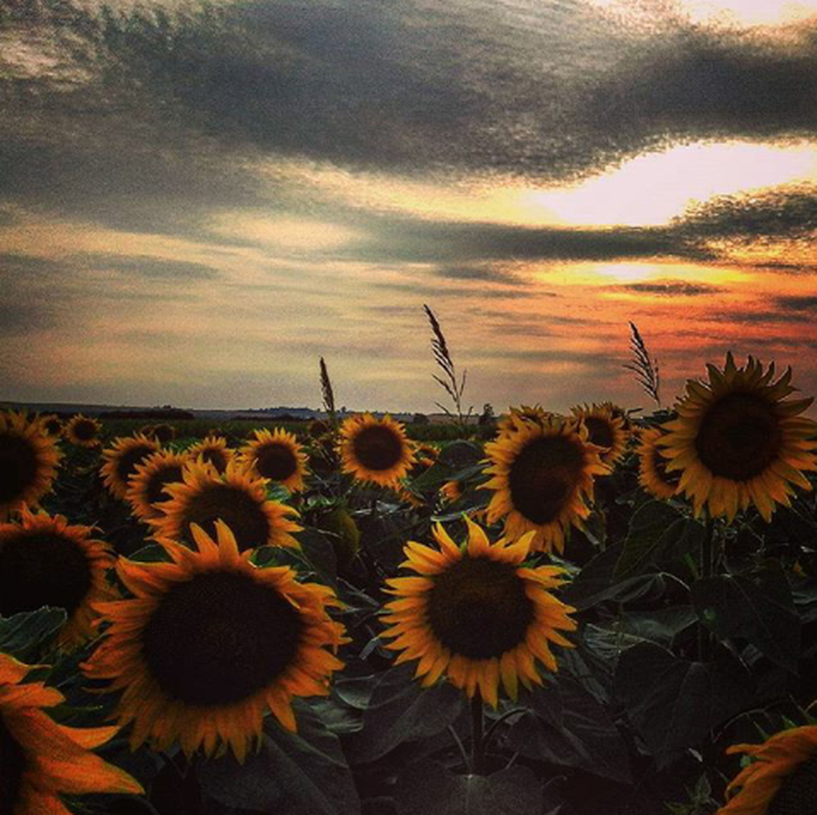flower, sunflower, yellow, beauty in nature, growth, sky, nature, plant, field, fragility, freshness, cloud - sky, flower head, tranquility, abundance, rural scene, petal, blooming, scenics, outdoors, tranquil scene, cloudy, no people, landscape, cloud, day, close-up, growing, in bloom, idyllic, botany
