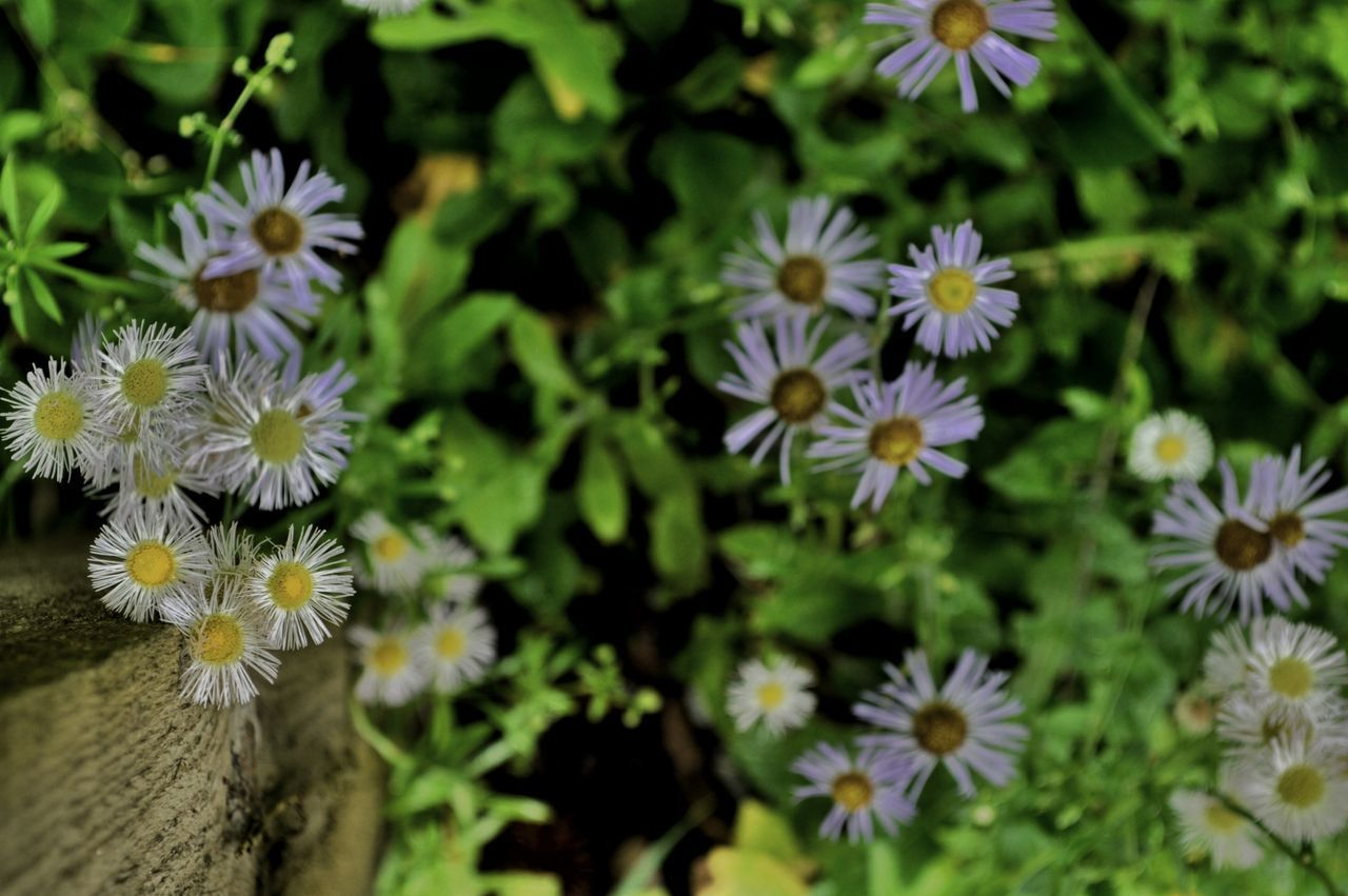 flower, fragility, petal, growth, beauty in nature, flower head, nature, freshness, plant, blooming, no people, day, outdoors, osteospermum, close-up