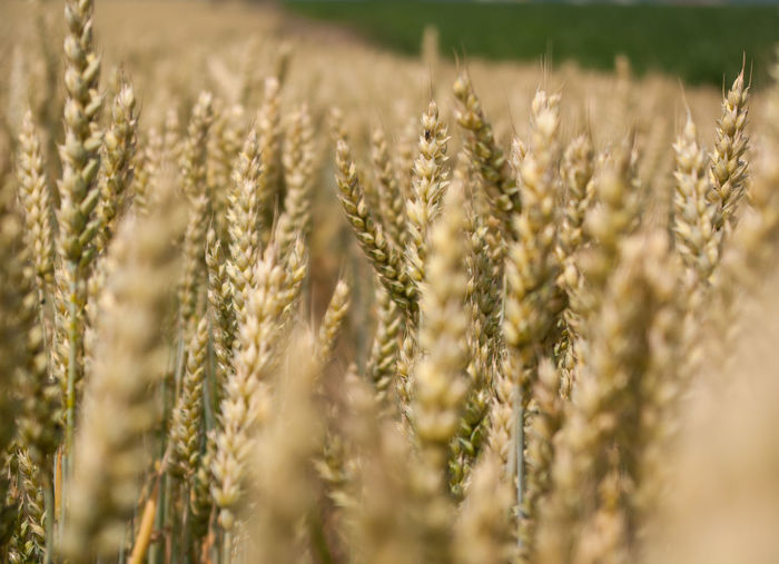 Wheat in field. Agriculture, bread. Summer Agriculture Crop  Cereal Plant Wheat Growth Field Selective Focus Farm Land Plant Rural Scene Nature No People Close-up Landscape Day Beauty In Nature Tranquility Backgrounds Environment Outdoors Stalk