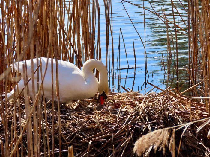 Female mute swan preparing her nest Birds of EyeEm beauty in nature water Animal Themes Outdoors