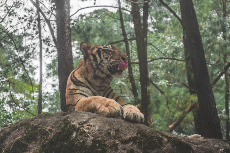 Low Angle View Of Tiger Resting On Rock In Forest