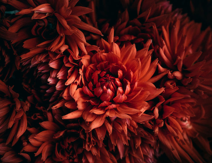 Flower Flower Head Beauty In Nature Fragility Close-up Freshness Petal Chrysanthemum See The Light