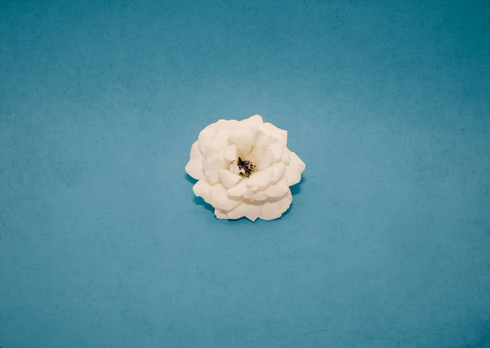 White Rose Beauty In Nature Blue Blue Background Close-up Colored Background Copy Space Directly Above Flower Flower Head Flowering Plant Food Freshness High Angle View Indoors  Inflorescence No People Plant Precious Gem Single Object Still Life Studio Shot Turquoise Colored White Color