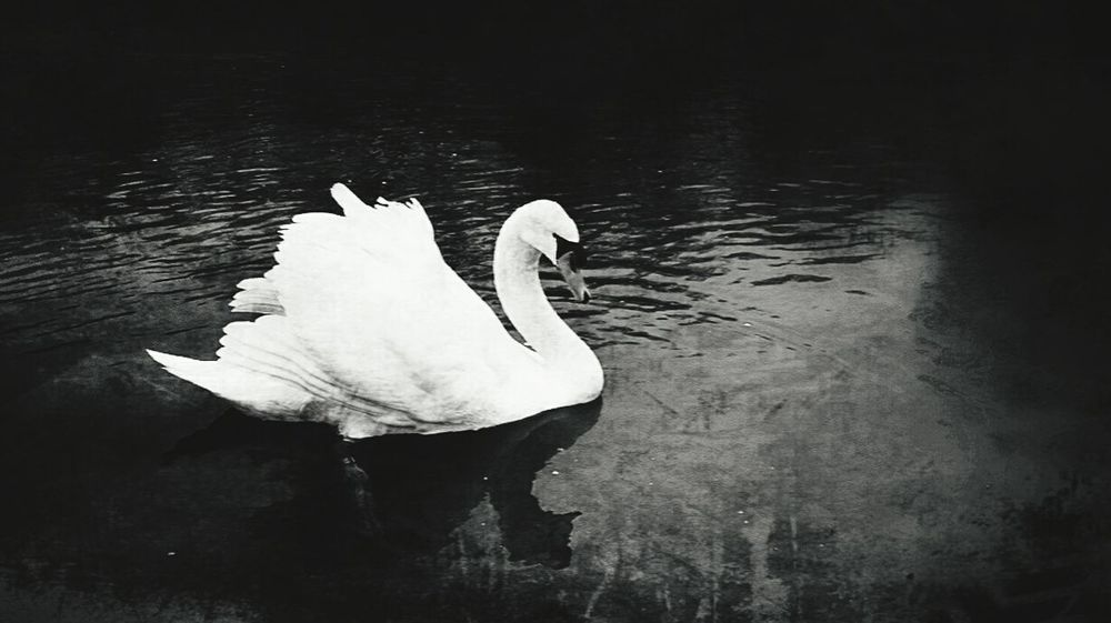 Swan blackandwhite