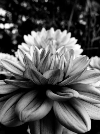 Dahlia. Flower Petal Flower Head Close-up Plant Nature Beauty In Nature Freshness Fragility Growth Outdoors Day Blurred Background Depth Of Field Focus On Subject Black And White Photography