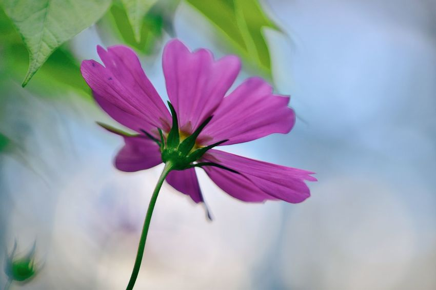 Flower Head Flower Beauty Pink Color Petal Blossom Close-up Plant Cosmos Flower Flowering Plant In Bloom Blooming Plant Life Botany Botanical Garden