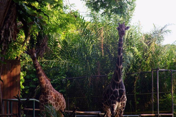 Giraffe Tree