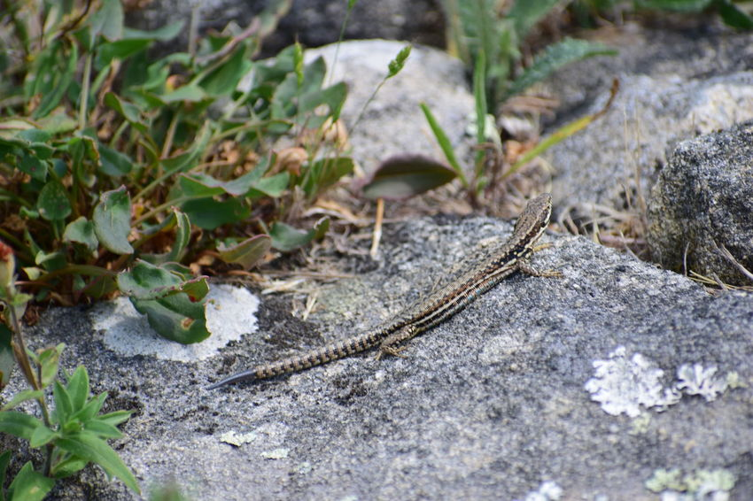 Lizzard Animal Animal Themes Animal Wildlife Close-up Day Dry Field Growth High Angle View Land Leaf Nature No People Outdoors Plant Plant Part Rock Rock - Object Selective Focus Solid