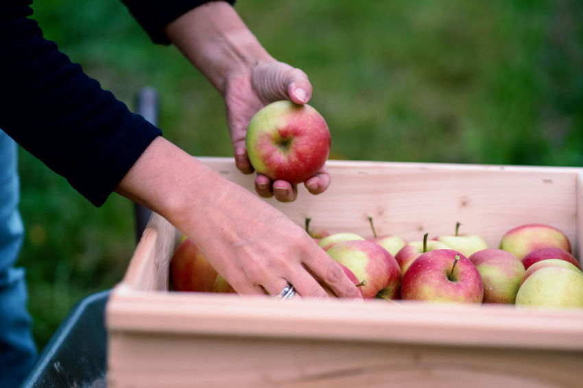 Apple Crop Autumn Mood Fruit Food Food And Drink Healthy Eating Freshness Day Wellbeing Human Hand Hand Apple - Fruit Human Body Part One Person Holding Real People Selective Focus Unrecognizable Person Body Part Close-up Finger Human Limb