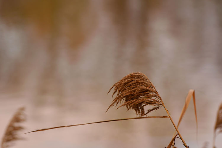 Cane reed against the lake Reed Plant Focus On Foreground Close-up Growth Beauty In Nature Nature No People Fragility Brown Vulnerability  Plant Stem Day Dried Plant Tranquility Outdoors Dry Selective Focus Dead Plant Flower Wilted Plant Stalk Dried