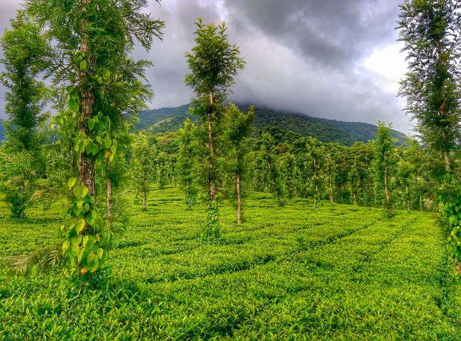 Teaestate Kerala Nature Green Sky Nature_collection Greenery Tea My Best Photo 2015 Taking Photos Nexus5 Rain Rainy Days Rainy Day Rainy