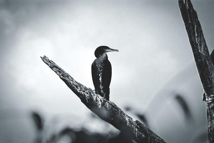 Animal Themes Animals In The Wild Bird Photography Animal Photography Blackandwhite Photography Blackandwhite Silhouette Raven - Bird Bird Perching Sea Bird Autumn Mood EyeEmNewHere