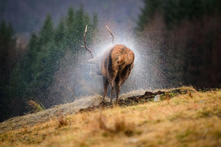 Red Deer -