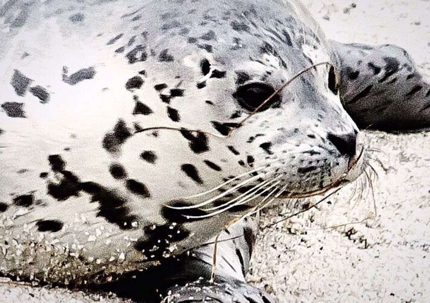 Harbor Seal Seal Pup One Animal Animal Themes Baby Animal Baby Seal Mammal Close-up Nature Outdoors Sea Life Day Beach Wildlife