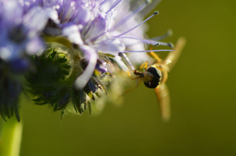 Hoverfly on a phacelia... Insect Nature Animals In The Wild Animal Themes One Animal Beauty In Nature Flower Close-up Fragility Growth Plant No People Animal Wildlife Outdoors Freshness Day Pollination Hoverfly Macro Green Color End Of Summer Animals Intricacy Detail Phacelia
