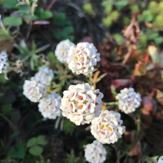 Flower White Color Nature Plant Fragility Beauty In Nature Growth Petal Day Focus On Foreground No People Freshness Flower Head Blooming Outdoors Lantana Camara Close-up